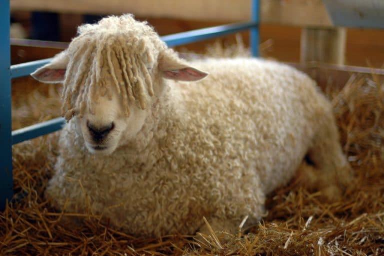 Sheep Fair at Findon!